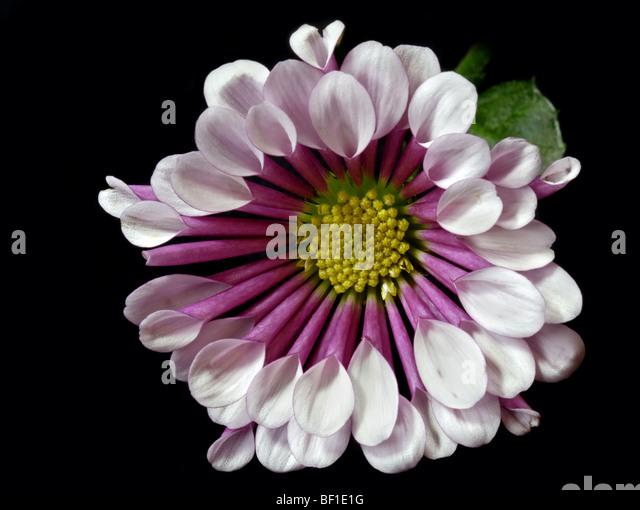 spoon chrysanthemum stock photos amp spoon chrysanthemum
