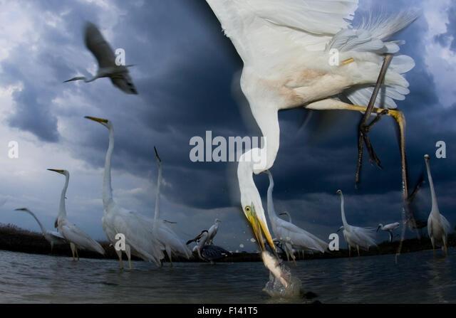 Great egret (Ardea alba) feeding on fish, Pusztaszer, Hungary, June. - Stock Image