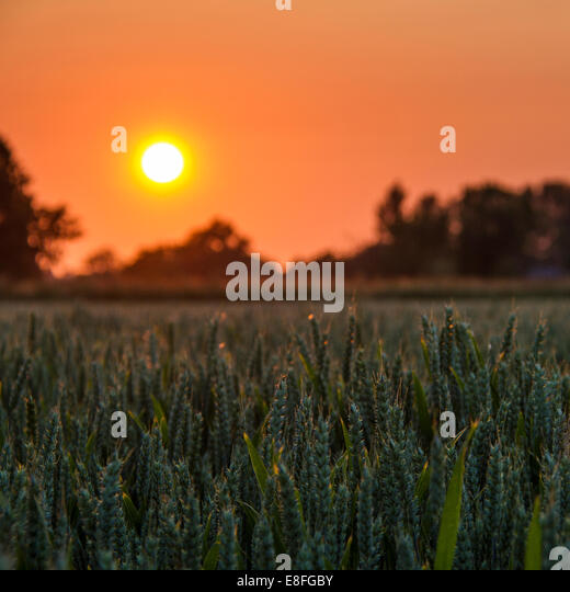 Sunset over wheat field - Stock Image