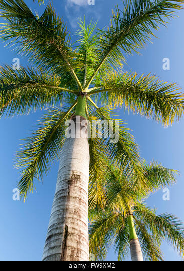 Palm tree in Mauritius. - Stock Image