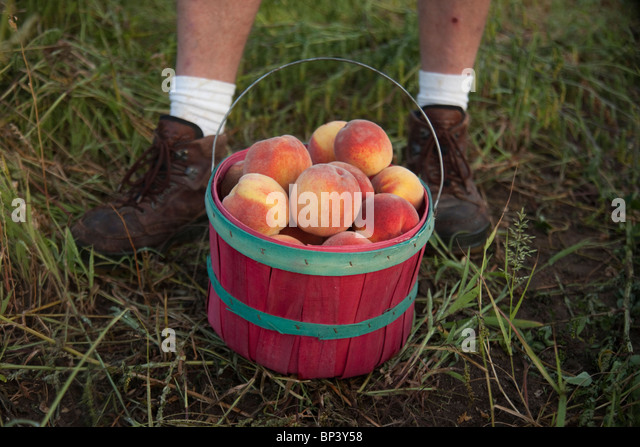 Organic peaches in a farm - Stock-Bilder