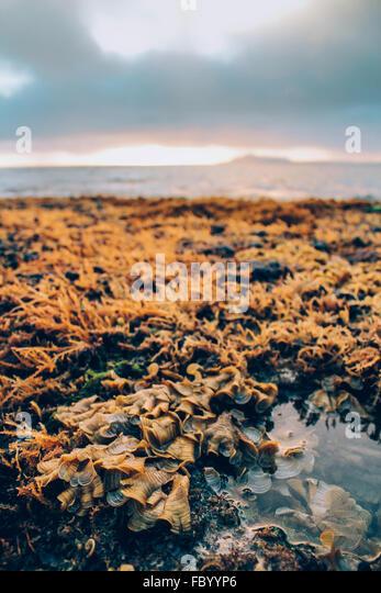 Exposed Hawaiian reef low tide at sunset on Portlock Oahu Hawaii USA. - Stock Image