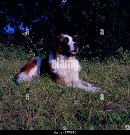 Bernhardiner sitting in grass. Photo by Willy Matheisl - Stock Image