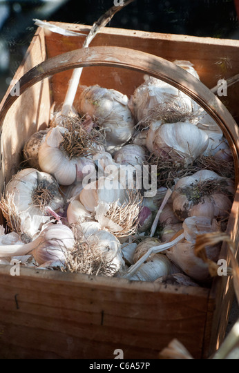 Freshly picked garlic bulbs in a wooden trug - Stock Image