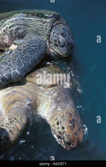 Green Sea Turtles Mating  Endangered Species - Stock Image