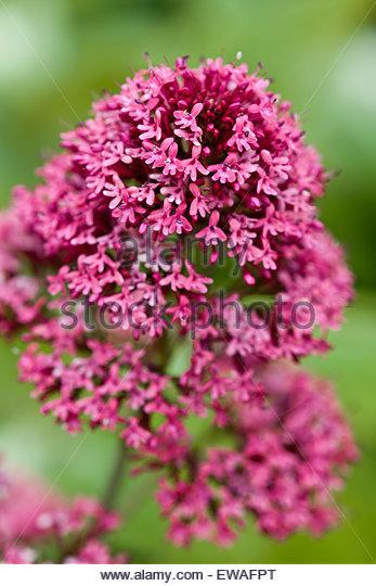 Centranthus ruber Red Valerian - Stock Image