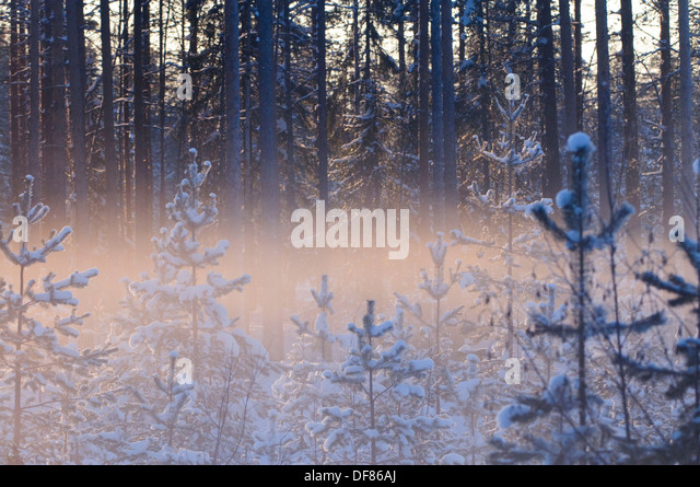 Backlit foggy forest views in the boreal forest near Kuhmo, Finalnd, at sunset in February - Stock Image