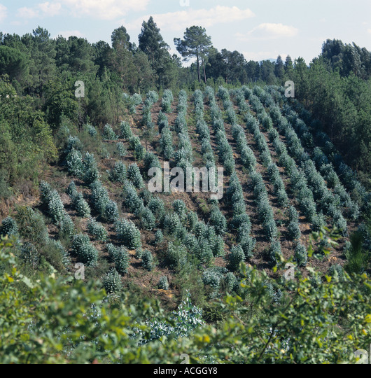 Young Plantation Of Blue Gum Trees Eucalyptus Sp In Portugal Stock