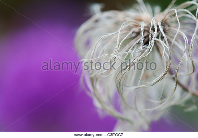 Clematis Boulevard flower seed head against purple allium flower background - Stock-Bilder