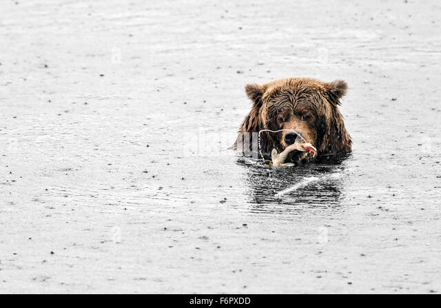 Female brown bear feeding on salmon - Stock Image