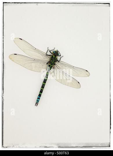 Dragon fly - Stock Image