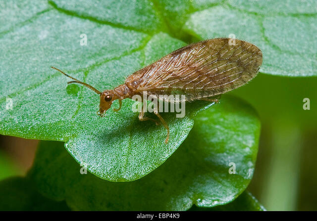 Brown Lace-wing (Micromus angulatus), on a leaf, Germany - Stock Image