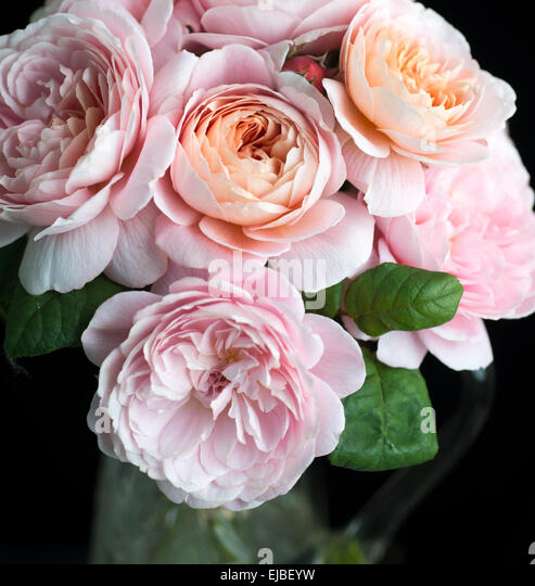 Rosa Queen of Sweden, a David Austin English rose, cut and in vase - Stock Image