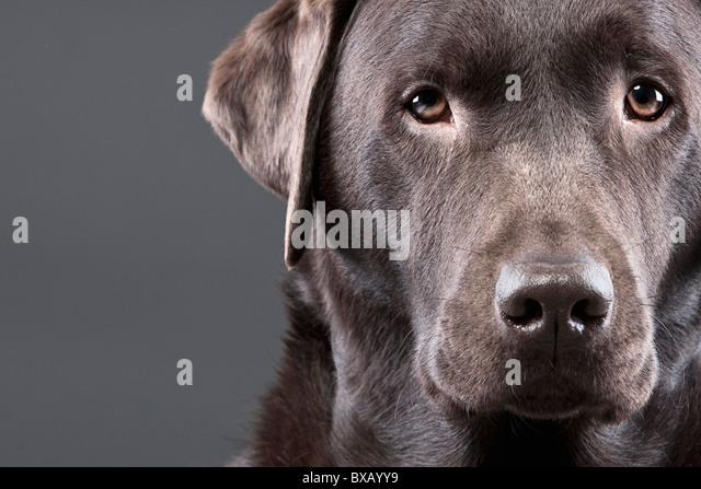 Close Up Shot of a Handsome Chocolate Labrador - Stock Image