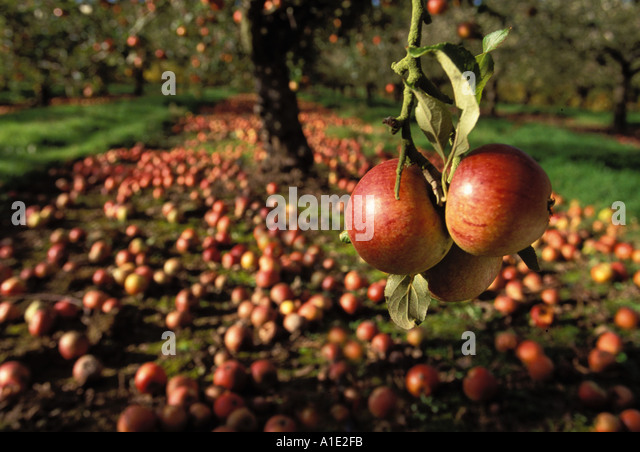 Waste ripe apples Charles Ross left to rot on the trees and ground as too expensive to pick Kent could be used for - Stock Image