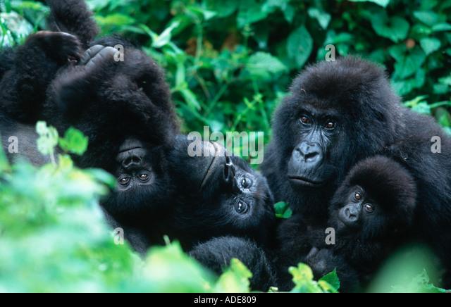 Mountain Gorilla Gorilla gorilla beringei Family interaction during midday rest Distribution Rwanda Uganda DRC P - Stock Image