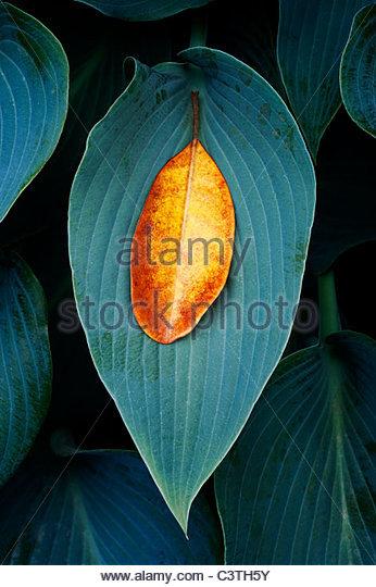 Fallen Rhododendron leaf on a Hosta Halcyon leaf - Stock Image