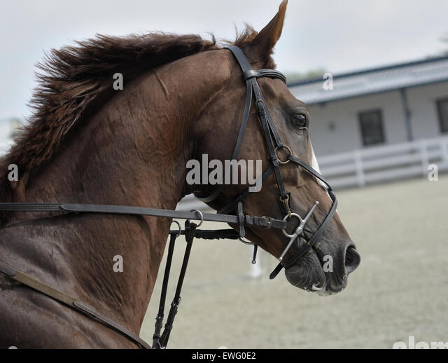 Brown Horse Head in Harness - Stock Image
