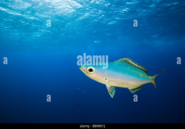 Fusilier in Blue Water Caesio lunaris Daedalus Reef Red Sea Egypt - Stock Image