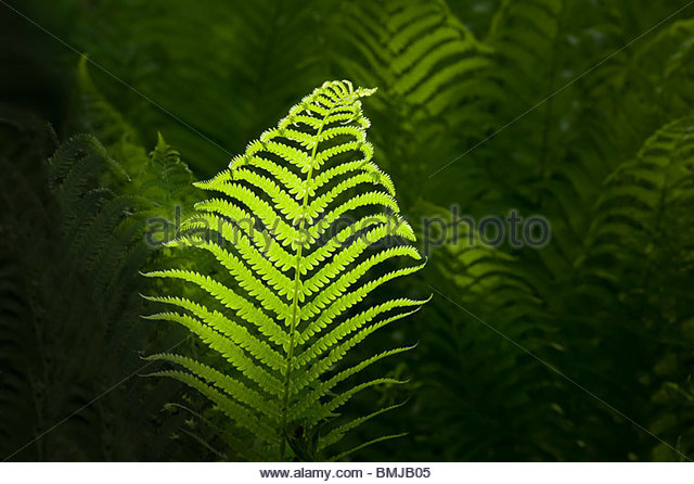 Fern in sunshine in Eastpoint Park in Toronto Ontario Canada - Stock Image