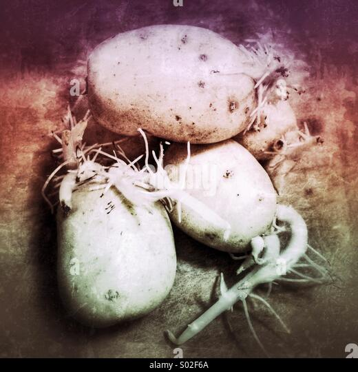 Sprouted potatoes - Stock Image