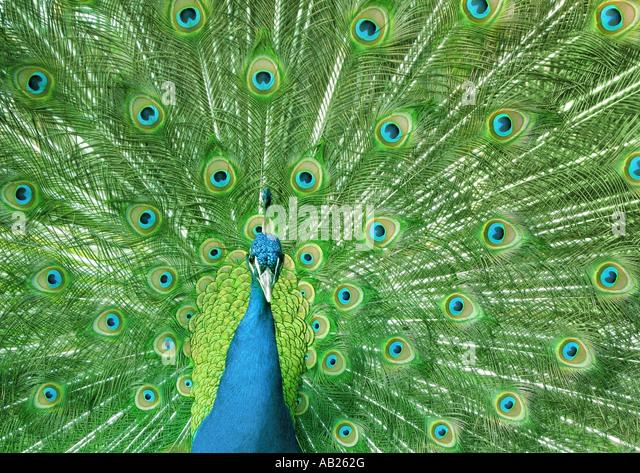 peacock Pfau - Stock-Bilder