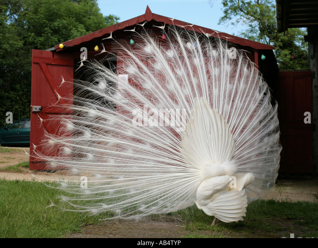The rear of an albino peacock. - Stock Image