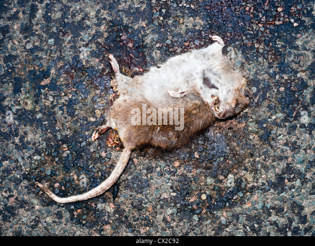 Dead rat on road - France. - Stock Image