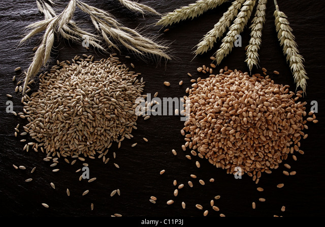 Rye (Secale cereale) and wheat (Triticum) on a slate - Stock Image