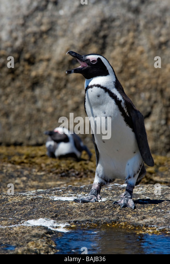 African Penguin Spheniscus demersus at Boulder Beach Simon's Town South Africa - Stock Image