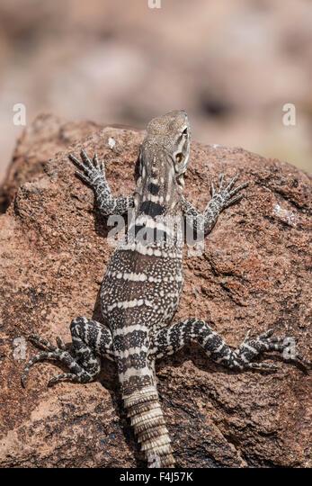 A juvenile spiny-tailed iguana (Ctenosaura conspicuosa), Isla San Esteban, Baja California, Mexico, North America - Stock Image