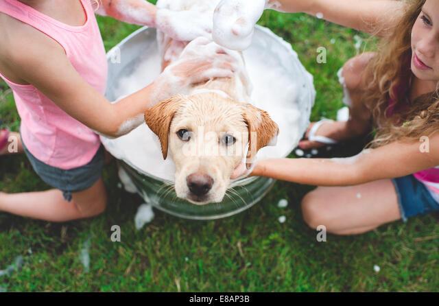 Labrador Retriever puppy in bucket looking up - Stock Image