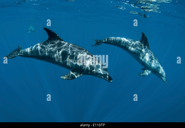 Bottlenose dolphins near the surface, Egypt (Tursiops truncatus) - Stock-Bilder
