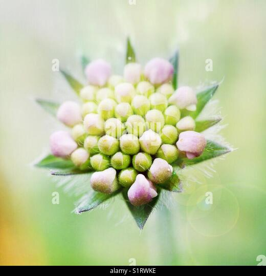 scabious flower bud - Stock Image