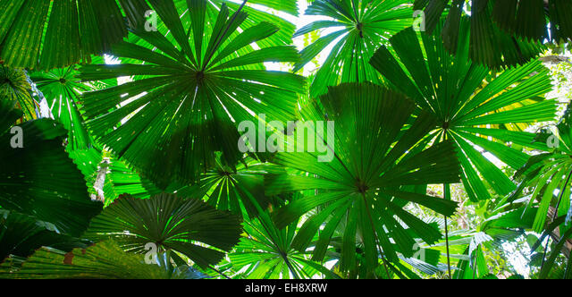 Australian Fan Palms (Licuala ramsayi) in the Daintree Rainforest, Queensland, Australia - Stock Image