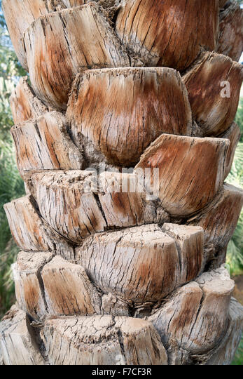 Detail of date palm tree at Oasis in Al Ain United Arab Emirates - Stock Image