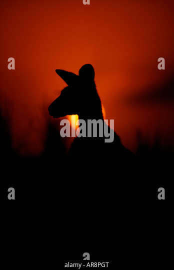 Silhouette of a kangaroo at dawn, Australia - Stock Image