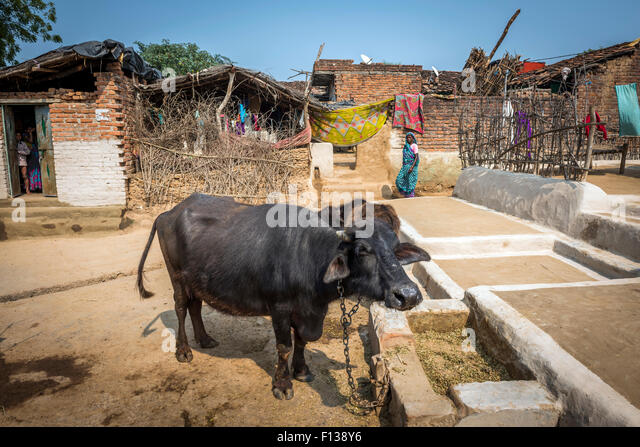 A tethered buffalo in a village square near Chitrakoot, (Chitrakut), Madhya Pradesh, India - Stock-Bilder