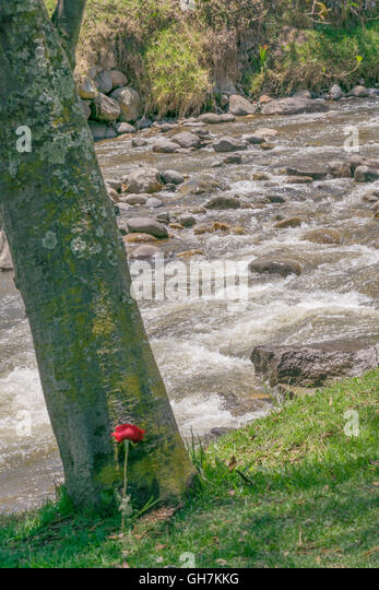 Romantic or poetic conceptual photography of red rose over tree trunk against river - Stock Image