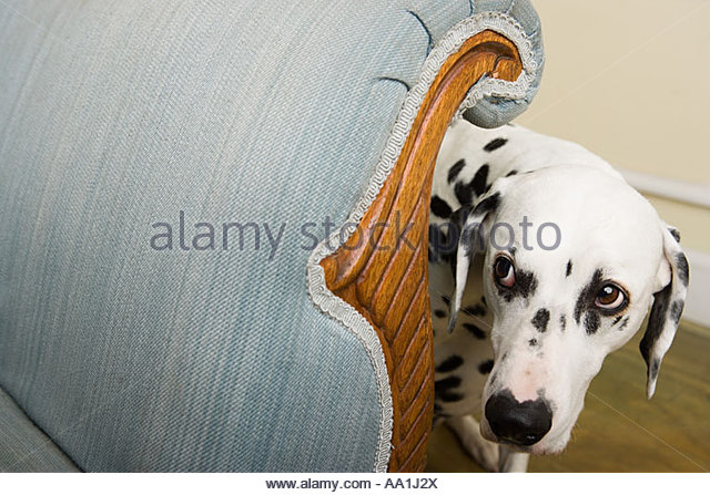 Dalmation by a chair - Stock Image