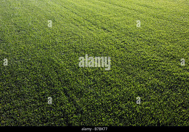 Rich green grass grows on a sod farm in southern California, USA - Stock Image