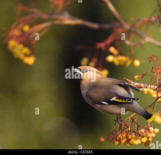 WAXWING Bombycilla garrulus An adult perched in a distinct, yellow variety of rowanNottinghamshire, UK - Stock-Bilder