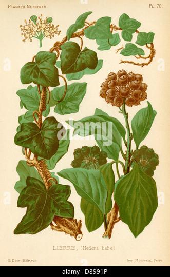 Hedera Helix Ivy - Stock Image