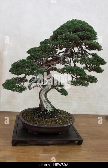 Bonsai tree, itoigawa Juniper - Stock Image