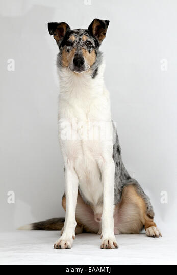 Smooth Collie Dog on white background - Stock Image