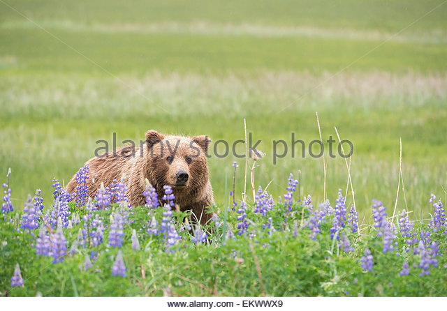 Grizzly bear (Ursus arctos horribilis) among purple lupines, Lake Clark National Park, Alaska, United States - Stock Image