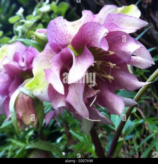 Hellebore flowers in bloom in a winter garden border. - Stock Image