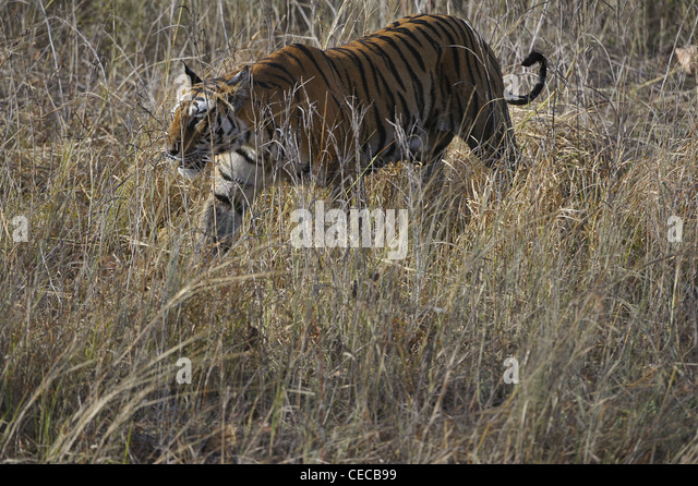 The Bengal tiger walks on the yellow grass - Stock Image