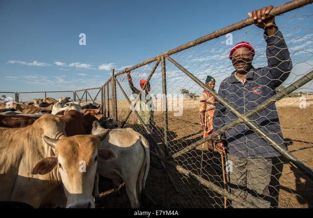 "Sepengo Lendira watches cattle at Lewa Wildlife Conservancy which is part of a ""Livestock to Market"" business that - Stock Image"