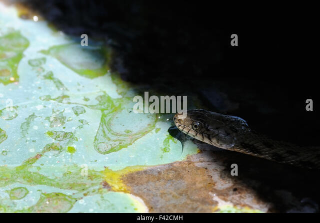 Dice snake  on lotus leaf. - Stock Image